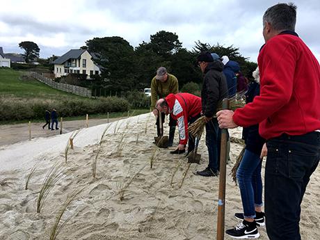 Plantation d'Oyats sur la dune du Leuhan à Treffiagat. Plantations réalisées lors d'un chantier participatif