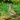 Pic vert juvénile